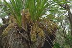 Snake Orchid (Cymbidium suave)